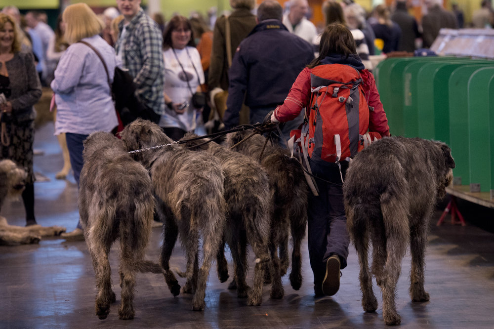 Description of . A woman walks with five Irish Wolf Hounds during the first day of the Crufts dog show in Birmingham, in central England on March 7, 2013. The annual event sees dog breeders from around the world compete in a number of competitions with one dog going on to win the
