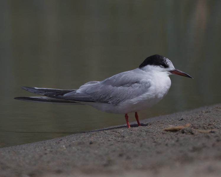 Common Tern Klondike Lake 2015 09 29-1.CR2