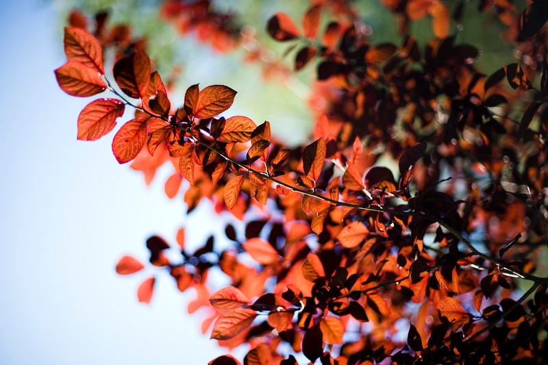 Bush with red leaves, Seville, Spain