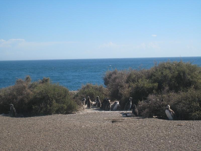 Magellan penguins, Estancia San Lorenzo, Peninsula Valdes, Argentina