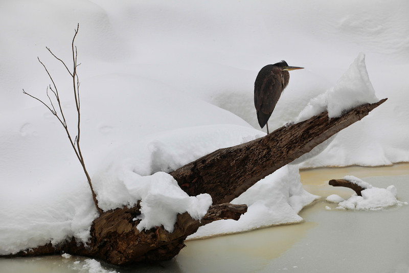 02/09/2010  A heron perches on a trunk above Accotink Creek in Fairfax, VA,during a snowstorm.  photo by Dayna Smith
