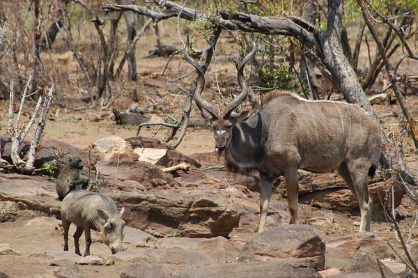 Kudu South Africa 2004