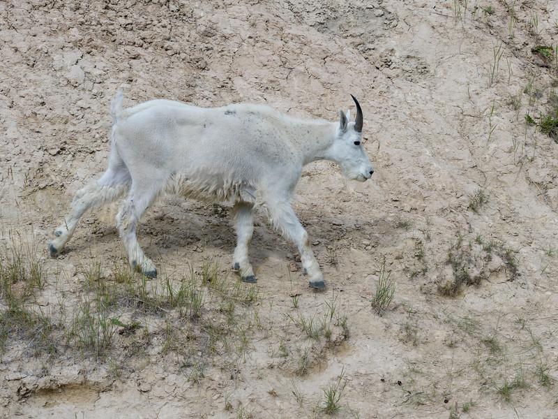 Mountain goat�(Oreamnos americanus), Icefields Parkway, Jasper, Alberta, Canada