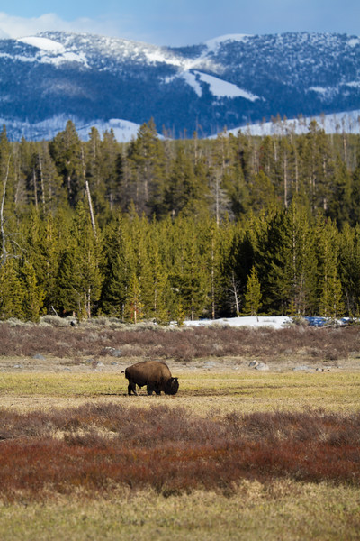 Bison in mountain landscape Yellowstone National Park WY IMG_0807.jpg