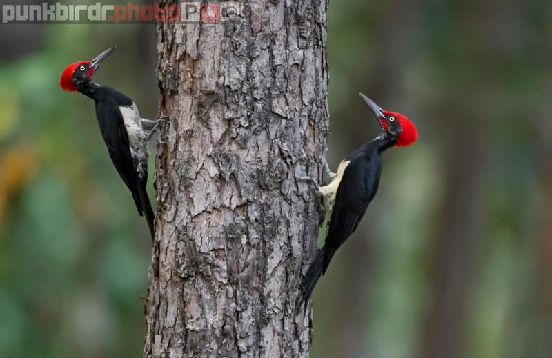 White-bellied Woodpecker (Dryocopus javensis)