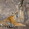 Yawning tiger in Ranthambore