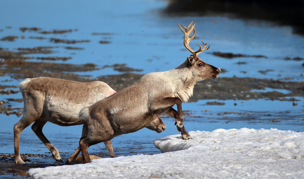 Reinsdyr / Reindeer