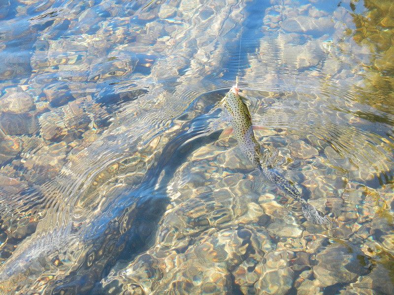 A Cutthroat Trout. My first on my new fly rod.