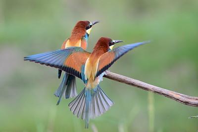 Spinte, Eisvögel, Racken - Bee-eaters, Kingfisher, Rollers