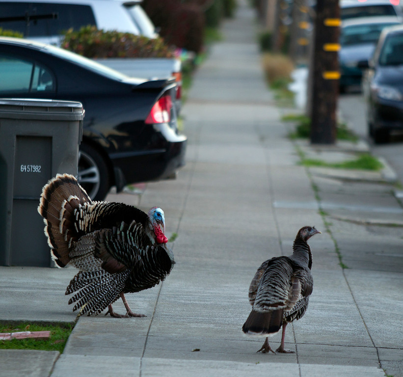 . Wild turkey wander along Cornell Avenue, at dusk on Sunday, Feb. 24, 2013 in Albany, Calif. Neighbors are requesting that the city do something about the birds, a flock of which have taken up residence in an area tree. (D. Ross Cameron/Staff)