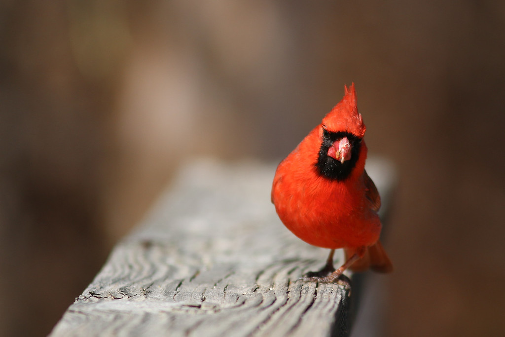 A male cardinal. At the Elizabeth A Morton National Wildlife Refuge.