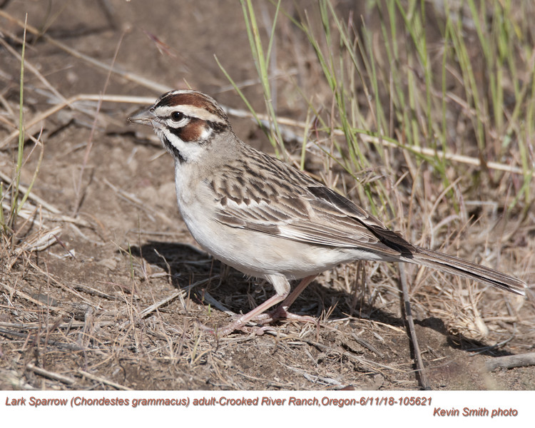 Lark Sparrow A105621.jpg