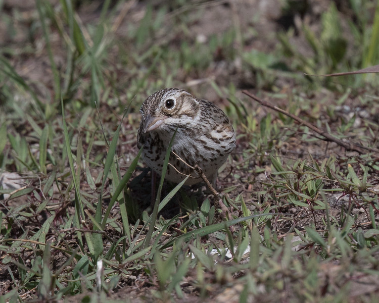 Vesper Sparrow Mammoth Lakes 2020 05 24-2.CR2