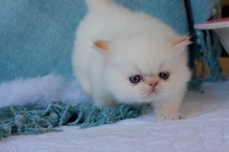 Himi_Kittens_Nov30-8046.jpg