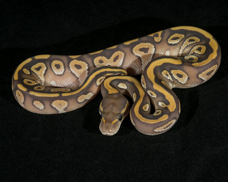 Ghost Mojave F0314, sold, HERPS show