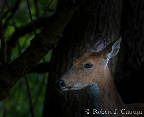 Deer and Critters