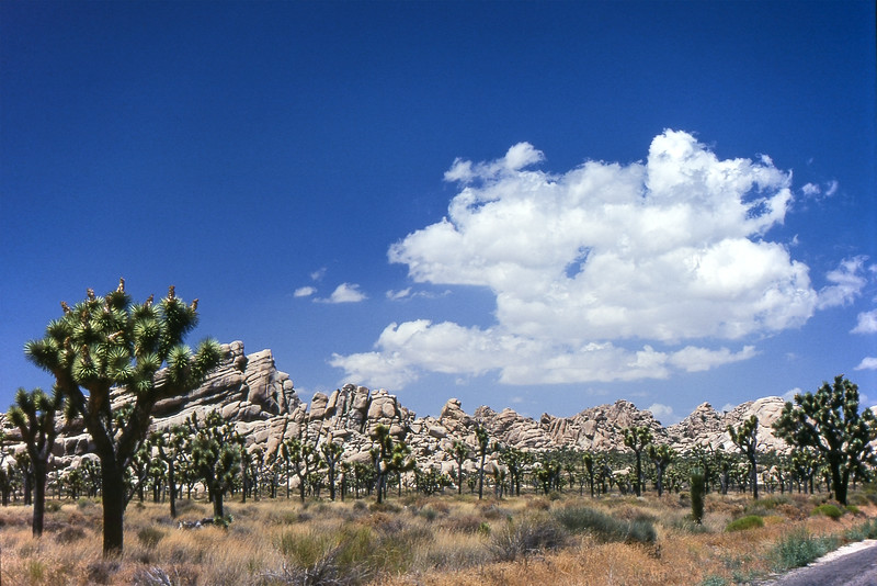 Joshua Tree - Joshua Tree National Park, California, USA - August 1995