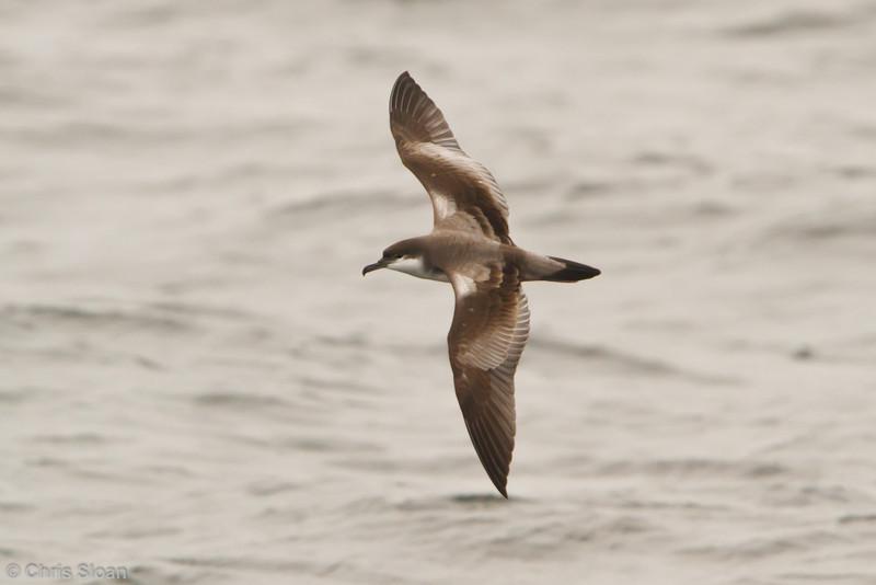 Buller's Shearwater at pelagic out of Bodega Bay, CA (10-15-2011) - 049.jpg