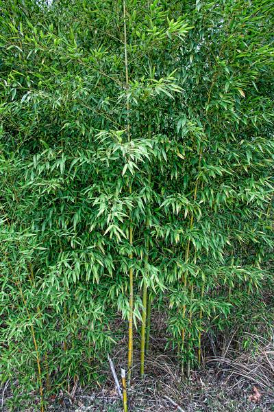 2011-02-17 bamboo #2_2339.jpg