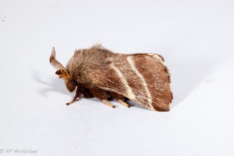 Eastern Tent Caterpillar Moth (Malacosoma americana)