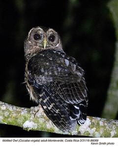 Mottled Owl A86069.jpg