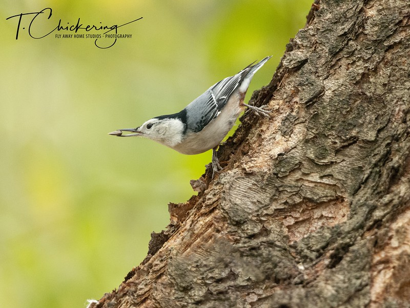 White Breasted Nuthatch Three.jpg