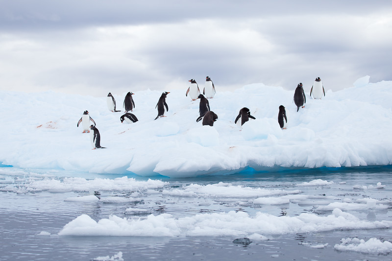 Antarctica Facts - Gentoo Pengiuns