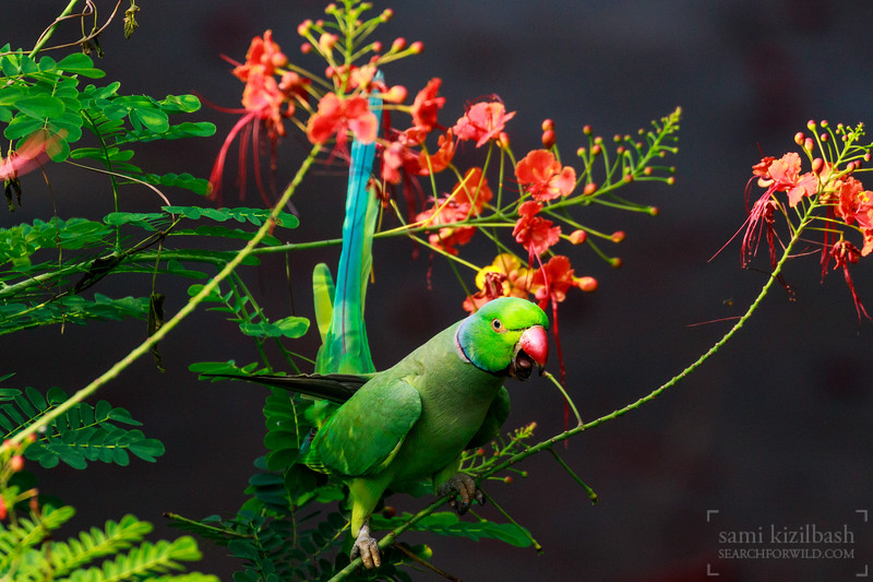 Rose-ringed Parakeet 12.jpg
