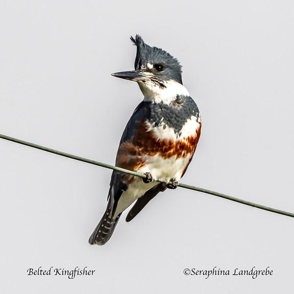 _DSC7844Belyed Kingfisher.jpg