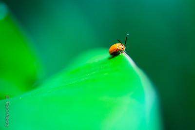 INSECT - ladybug on a leaf-1640
