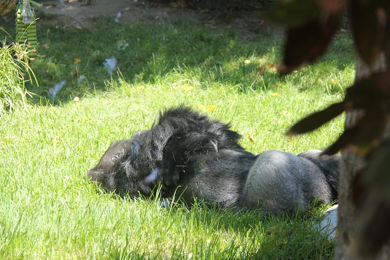 20170807-143 - San Diego Zoo - Gorilla.JPG