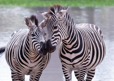 Antelopes and Zebras