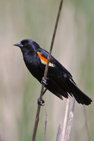 Blackbird - Red-winged - male - Bovey, MN - 02