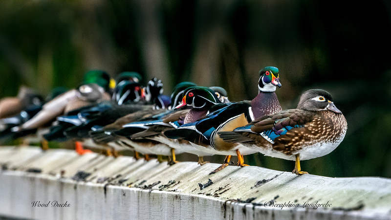 _DS01696Wood ducks in a ROW.jpg