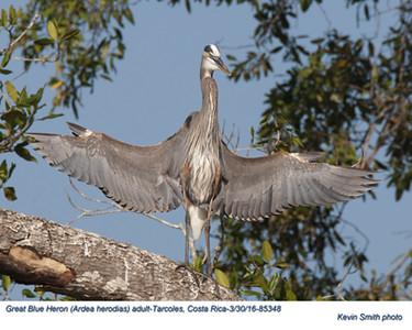 Great Blue Heron A85348.jpg