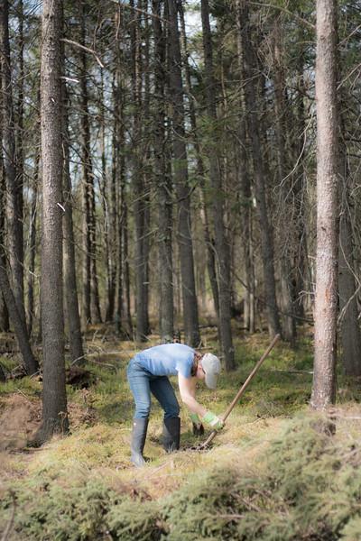 tree planting FOSZB Warren Nelson Bog Blue Spruce Road Sax-Zim Bog MN DSC07430.jpg
