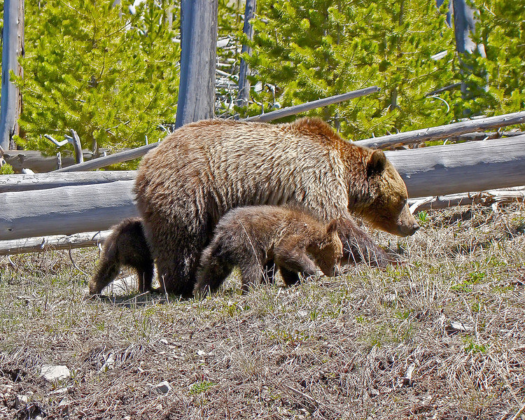 Grizzly Sow, Two Coy, A.jpg