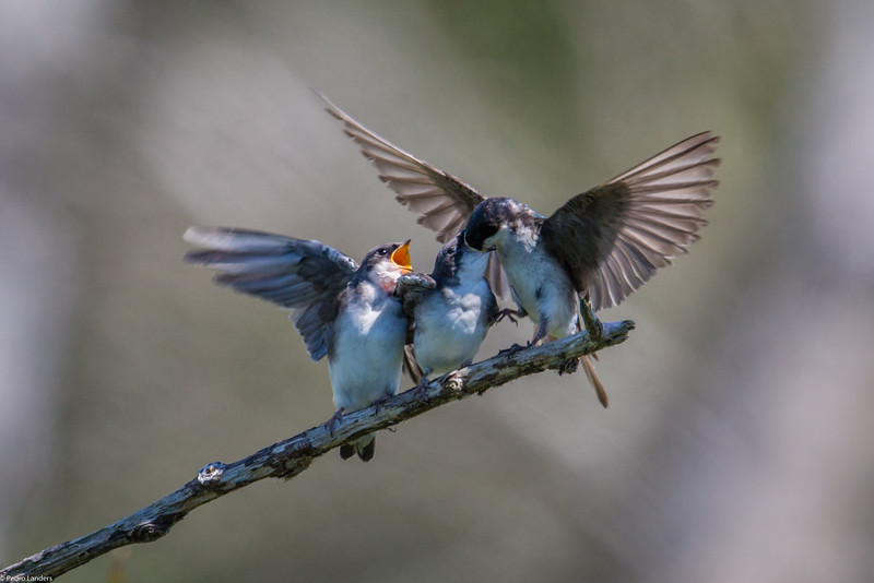 Tree Swallow 3.jpg