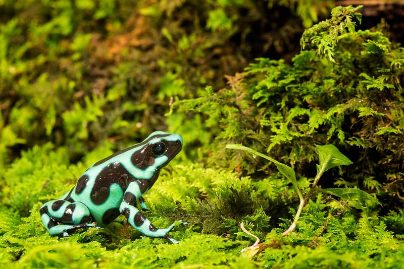 Auratus Dart Frog,  Dendrobates auratus
