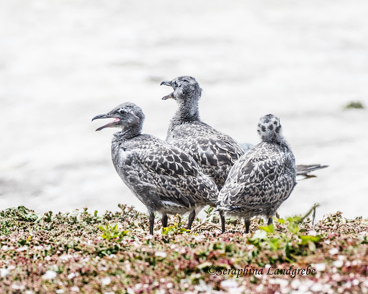 _DSC5862Three Baby gulls.jpg