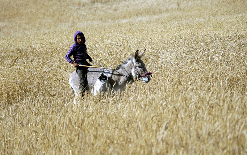 . A Palestinian Bedouin youth rides a donkey in the northern Jordan Valley near the West Bank town of Tubas, Monday, April 29, 2013. (AP Photo/Mohammed Ballas)