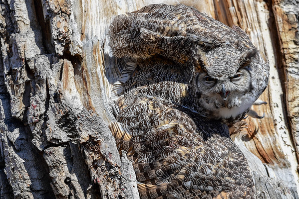 4-2-16 Great Horned Owl - Stpats - Trapped Male
