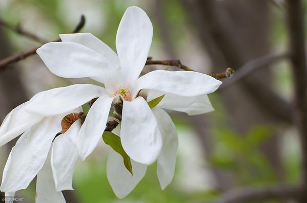 05-07-16 Magnolias