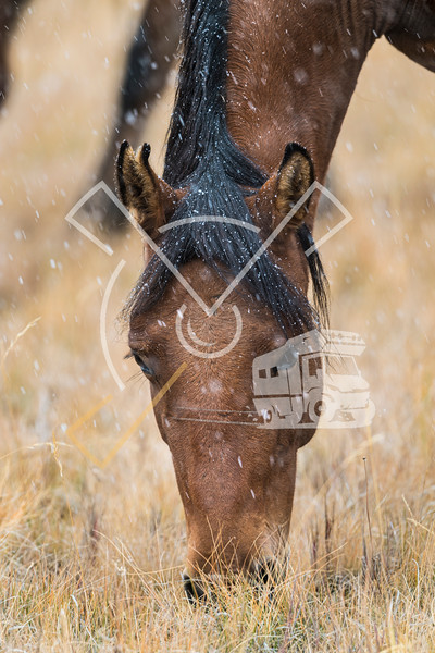 Beautiful brown horse portrait with black manes in the snowfall in the Kyrgyz mountains