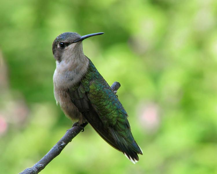 hummingbird_9585.jpg