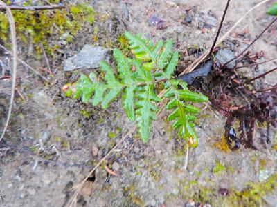 Goldenback Fern (Pentagramma triangularis ssp. maxonii)