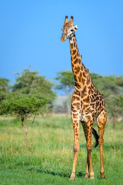 Male Giraffe.jpg