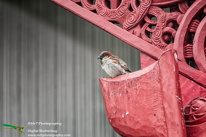Sparrow on marae Univdersity of Auckland