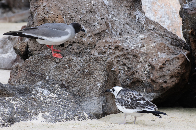 Swallow-tailed Gull and young