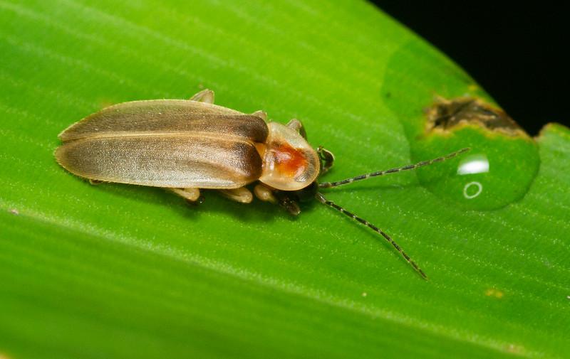 Firefly (Lampyridae: Photurinae) from Panama.